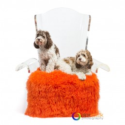 2 dogs resting on a luxury acrylic chair